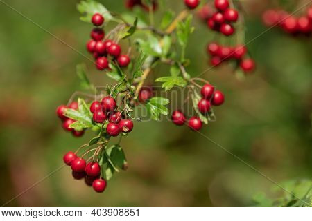Wild and ripe hawthorn berries on a branch