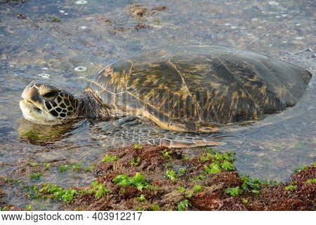 Engaging Closeup Of A Pacific Green Sea Turtle Resting In Surf Zone Off Waimea Beach, On The North S