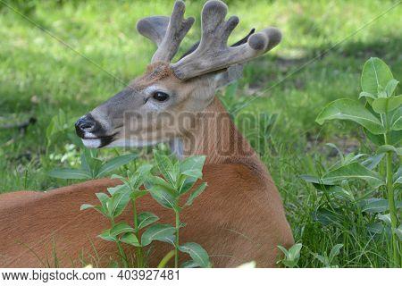 Shaded Summer Closeup Of An Alert Velvet Antlered Whitetail Deer Buck, Resting In Some Lush Green Me