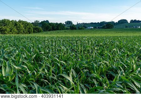 Corn Fields And Farms