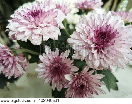 Gerbera Flower Beautiful Bouquet In Water Glass Colorful Beautiful, Violet Pink Color, Barberton Dai