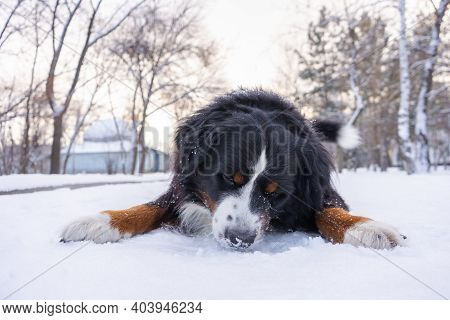 Bernese Mountain Dog With Snow On His Head. Happy Dog Lying On A Snow