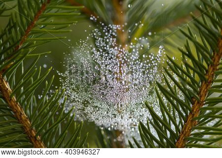 Water Drops. A Branch Of A Green Spruce. Fog. Dew. Template. The Internet. Green Tree Branches And D