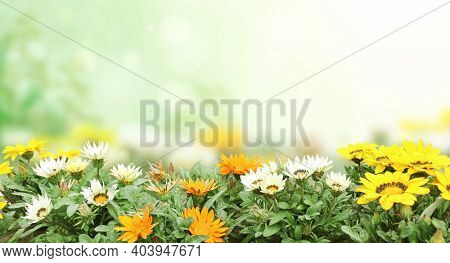 First spring wildflowers yellow, white and orange Adonis vernalis (Pheasant's eye). Sunny spring background with flowers on flowerbed. Horizontal summer banner with False hellebore flower