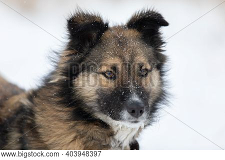 Dog Looking Forward Cautiously And Attentive In Snow Winter Day.