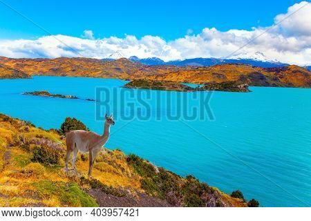 Magnificent guanaco with thick reddish brown hair grazes on the shore. Picturesque lake Pehoe in the Patagonian Andes. Huge lake with bright azure water from melting glaciers.  Travel to Chile