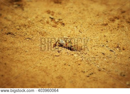 Little Cautious Crab Sitting Near His Burrow In The Sand On The Beach