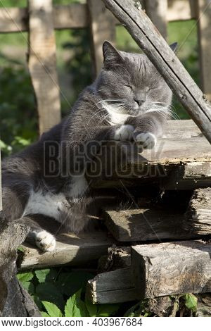 Grey Smoky White-breasted Short-haired Domestic Cat With White Paws Laying And Rolling On Ground In