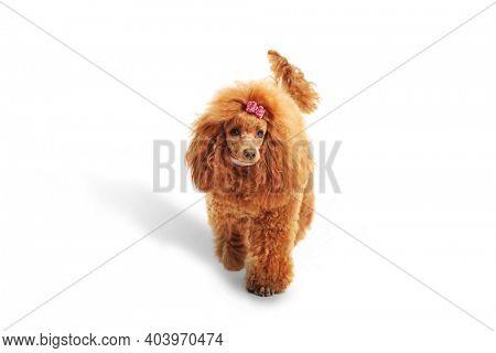 Cute red poodle dog walking towards camera isolated on white background