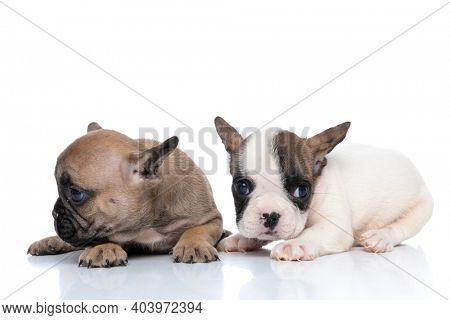 two french bulldog dogs looking away and aside, having white and fawn fur and lying down against white background