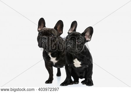 two cute french bulldog dogs looking aside at something and sitting side by side against white background