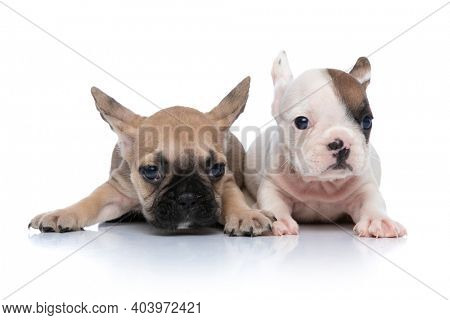 two cute french bulldog dogs are lying down next to each other and having an interesting white and fawn fur