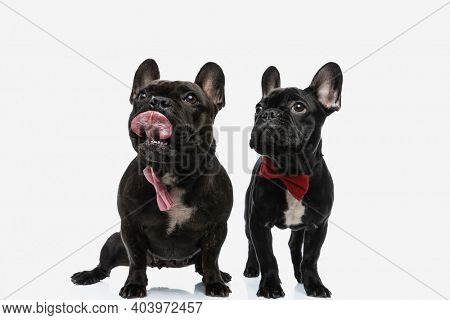 two french bulldog dogs licking mouth and wearing a bowtie against white background