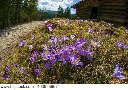 Beautiful Blooming Crocuses In Chocholowska Clearing. Tatra Mountains, Poland At Springtime. Fisheye