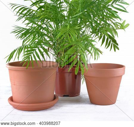 Green Houseplant In A Plastic Pot  Next To Terra Cotta Pots On White Background