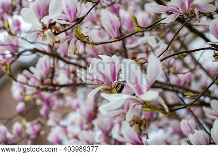 Natural Background Concept. Pink Magnolia Branch. Magnolia Tree Blossom. Blossom Magnolia Branch On