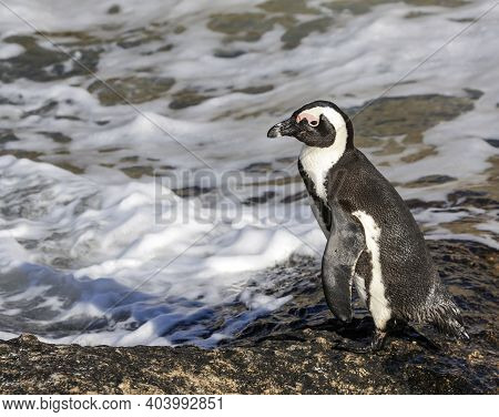 The Penguin Stands On The Ocean Shore Before Entering The Water. Seabird-a South African Penguin Sta
