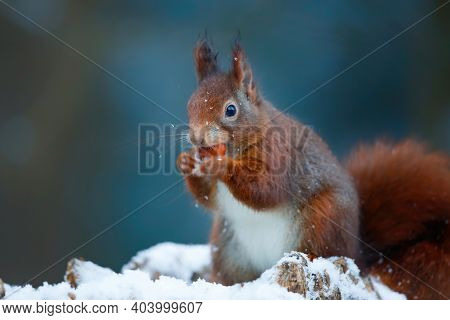 Eurasian Red Squirrel (sciurus Vulgaris) In The Snow Searching For Food In The Forest In The Netherl