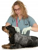 veterinary care - english cocker spaniel being microchipped by a veterinarian isolated on white background poster