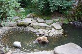Brown bear scratching ear in swimming pool in Czech Krumlov poster
