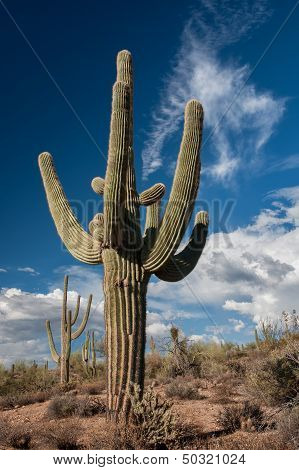 Saguaro Cactus Await Monsoon