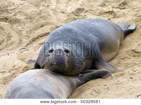 Male Seelion At A Beach