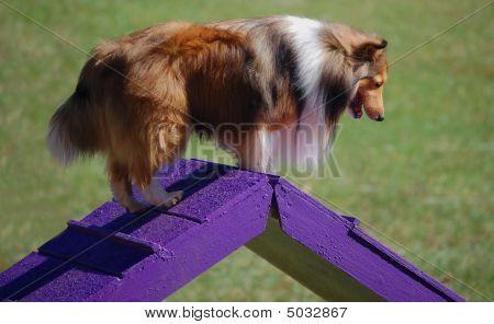 Collie On Purple Ramp
