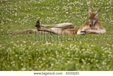 Male Kangaroo Lying In The Flowers