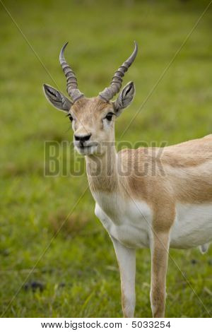 Blonde Antelope Standing In Tall Grass