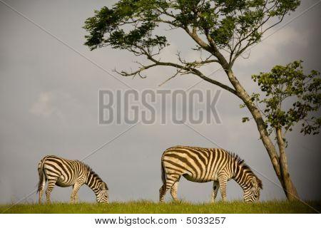 Two Zebras On The Savannah