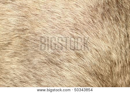 Fur Texture Of A Short Hair Pony