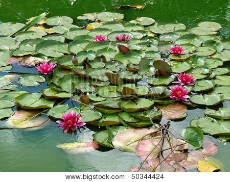 lotuses.