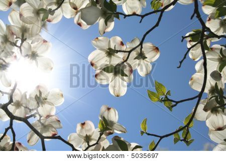 White Dogwood Blooms