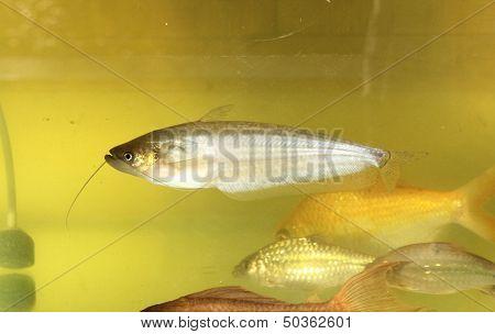 Sheatfish