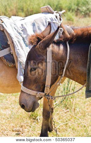 Donkeys - best transportation through greek mountains, Sithonia, Greece poster