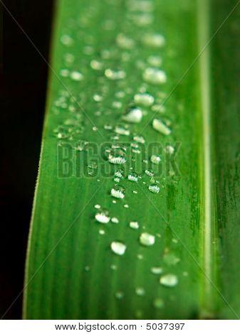 Dew On Leaf