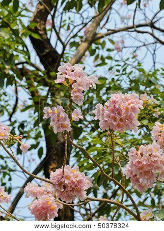Pink Trumpet Or Pink Tabebuia Flower In Bloom poster