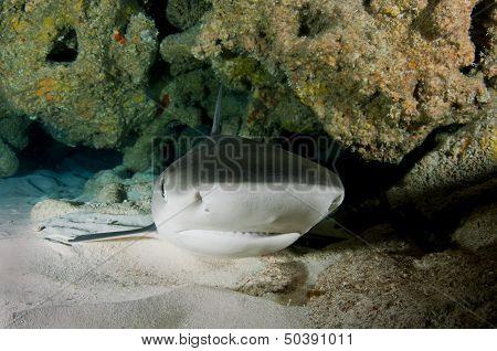 Sleeping Caribbean Reef Shark