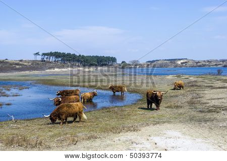 View of Cattle scottish Highlanders Zuid Kennemerland Netherlands poster