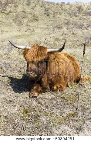 Cattle scottish Highlanders in  Zuid Kennemerland Netherlands poster