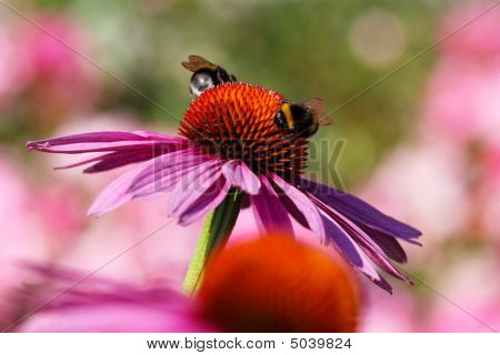 Two Bees On The Flower