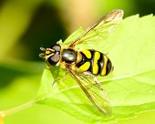 A Hover-fly perched on a green leaf. poster