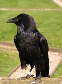 Black Raven searching for food on grassy field poster