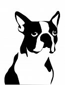 Black and white illustration of a boston terrier isolated poster