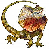 frill necked lizard illustration isolated on white background poster