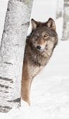 Grey Wolf (Canis lupus) Peeks from Behind Birch Tree - captive animal poster