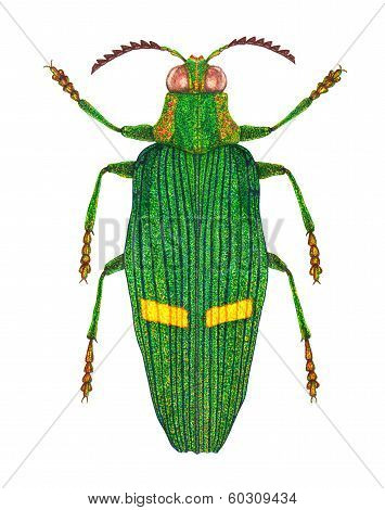 Opulent jewel beetle