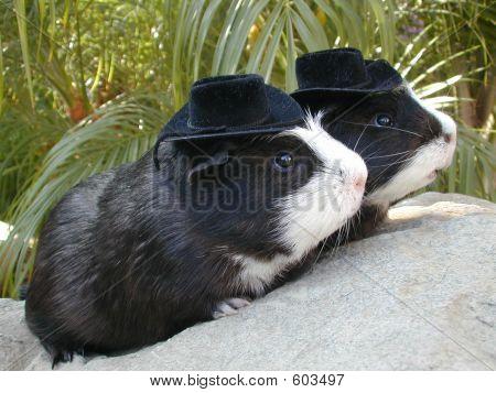 Twin Guinea Pigs In Hats