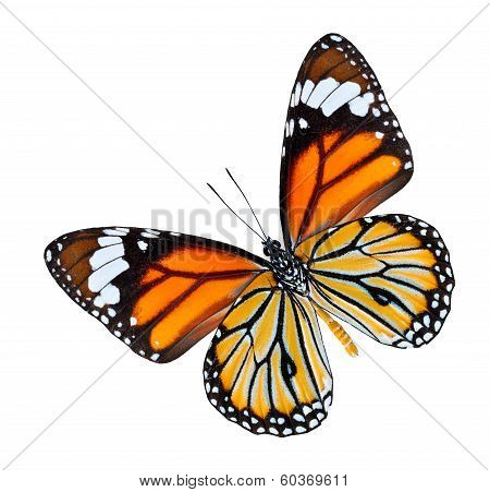 The Common Tiger Butterfly Lower Wing Profile In Natural Color Isolated On White Background