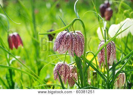 Snake's Head Fritillary British Wild Meadow Flower